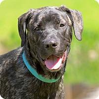 Adopt A Pet :: Goober - Pawling, NY