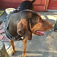 Doberman Pinscher/Bloodhound Mix Dog for adoption in Wichita, Kansas - Abel