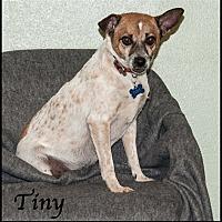 Adopt A Pet :: Tiny - Ada, OK