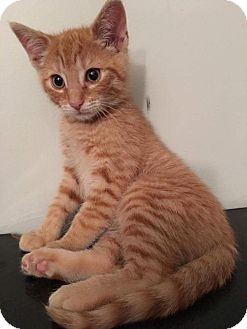 Domestic Shorthair Kitten for adoption in Cherry Hill, New Jersey - Carrot