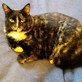 Domestic Shorthair Cat for adoption in Menands, New York - Yvonne