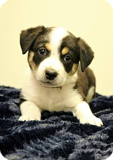 Australian Shepherd/Border Collie Mix Puppy for adoption in Staunton, Virginia - Selina