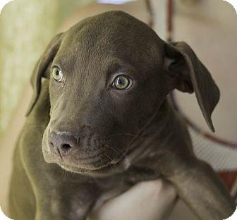 Labrador Retriever Mix Puppy for adoption in Phoenix, Arizona - Edison