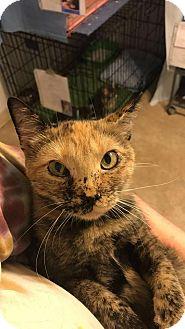Domestic Shorthair Kitten for adoption in Hanna City, Illinois - Sushi-