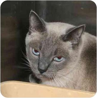 Siamese Cat for adoption in Columbus, Ohio - Rascal