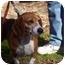 Photo 3 - Beagle Dog for adoption in Ventnor City, New Jersey - FRESCA