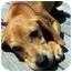 Photo 4 - Hound (Unknown Type)/Labrador Retriever Mix Puppy for adoption in Portsmouth, Rhode Island - Juliana