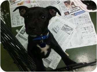 American Pit Bull Terrier/Mastiff Mix Dog for adoption in Fresno, California - Munchkin