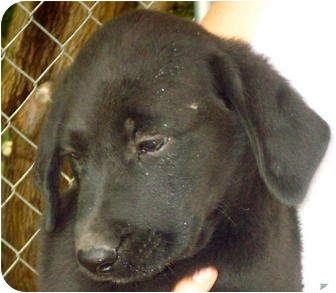 Labrador Retriever Mix Puppy for adoption in Metamora, Indiana - Noel