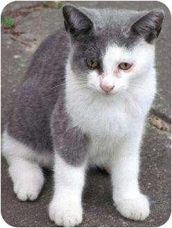 Domestic Shorthair Kitten for adoption in Toronto, Ontario - Bandit