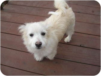 Pomeranian/Corgi Mix Puppy for adoption in Tumwater, Washington - Frankie