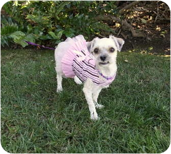 Shih Tzu Mix Dog for adoption in Newport Beach, California - PIPPI