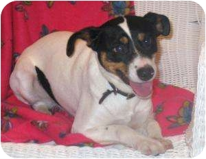 Fox Terrier (Smooth) Mix Dog for adoption in Youngwood, Pennsylvania - Tootsie