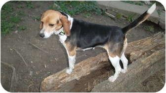 Beagle Dog for adoption in through transport, Pennsylvania - Lacy _Pocket beagle!