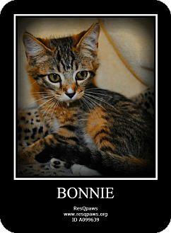 Domestic Shorthair Kitten for adoption in Yuba City, California - 8/4 Bonnie
