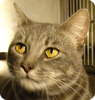 Domestic Shorthair Cat for adoption in El Cajon, California - Figaro