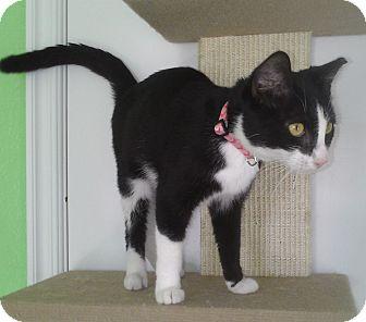 Domestic Shorthair Cat for adoption in Edmond, Oklahoma - Juliet