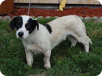 Basset Hound/Terrier (Unknown Type, Medium) Mix Dog for adoption in North Judson, Indiana - Nemo