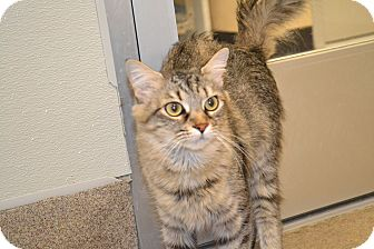 Domestic Mediumhair Cat for adoption in Gilbert, Arizona - Carly