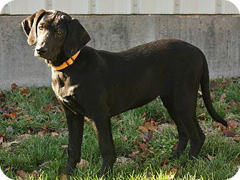 Golden Retriever/Labrador Retriever Mix Puppy for adoption in Denver, Colorado - Beamer