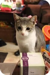 American Shorthair Cat for adoption in College Station, Texas - Gale