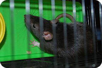 Rat for adoption in Ogden, Utah - Velvet