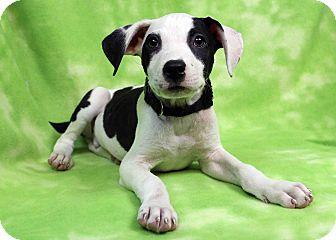 Labrador Retriever/American Pit Bull Terrier Mix Puppy for adoption in Westminster, Colorado - Serrano