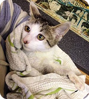 Domestic Shorthair Kitten for adoption in North Brunswick, New Jersey - Maurie
