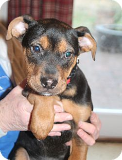 Boxer/Terrier (Unknown Type, Medium) Mix Puppy for adoption in Knoxville, Tennessee - Tazi