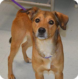 Collie Mix Dog for adoption in Morgantown, West Virginia - Oscar