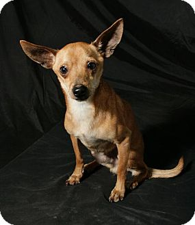Chihuahua Mix Dog for adoption in Lufkin, Texas - Chance