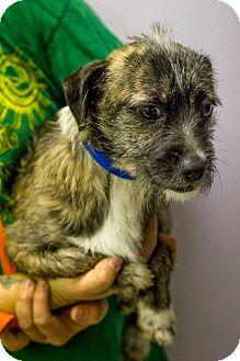 Dachshund/Terrier (Unknown Type, Small) Mix Puppy for adoption in Scottsdale, Arizona - Cody