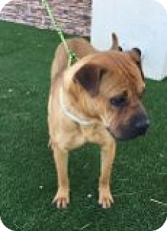 Boxer Mix Puppy for adoption in Las Vegas, Nevada - Delilah