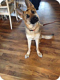 German Shepherd Dog Dog for adoption in Evergreen Park, Illinois - Echo