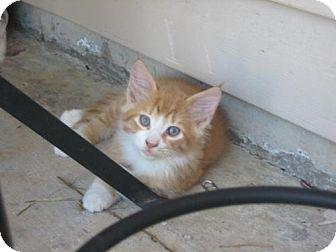 Domestic Longhair Kitten for adoption in Winder, Georgia - Walter
