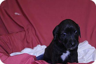 Labrador Retriever/Retriever (Unknown Type) Mix Puppy for adoption in Waldorf, Maryland - Quest