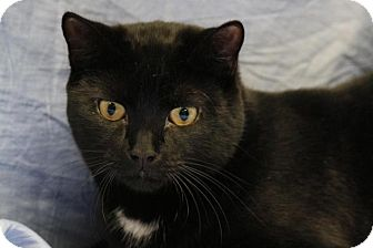 Domestic Shorthair Cat for adoption in Norwich, New York - Tig