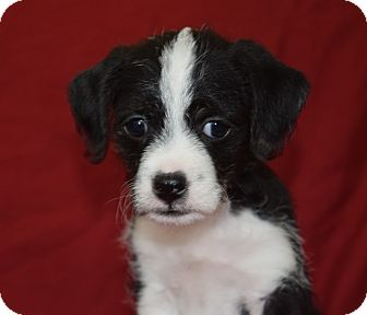 Cavalier King Charles Spaniel/Silky Terrier Mix Puppy for adoption in CHAMPAIGN, Illinois - ROSE