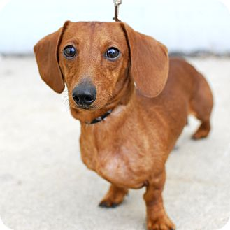 Dachshund Mix Dog for adoption in Detroit, Michigan - Dallas-Adopted!