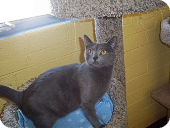Russian Blue Cat for adoption in Glendale, Arizona - Misty