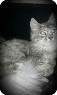 Domestic Mediumhair Kitten for adoption in Richmond, California - Destiny