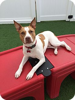 Boxer/Cattle Dog Mix Dog for adoption in Knoxville, Tennessee - BRODIE