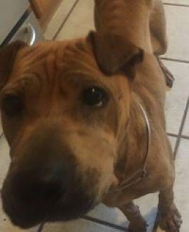 Shar Pei Dog for adoption in Gainesville, Florida - Sunshine