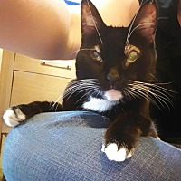 Domestic Shorthair Cat for adoption in Chino Hills, California - Carly