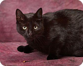 Hemingway/Polydactyl Cat for adoption in Harrisonburg, Virginia - Noir