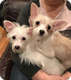 Chinese Crested/Chihuahua Mix Puppy for adoption in Nanuet, New York - Katie and Sadie
