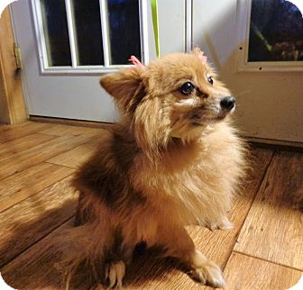 Pomeranian Dog for adoption in Crump, Tennessee - felecity