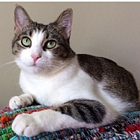 Domestic Shorthair Cat for adoption in Los Angeles, California - Lilly