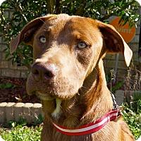 Adopt A Pet :: Gus - Pawling, NY