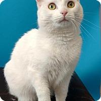 Adopt A Pet :: Snowball - Roanoke, VA